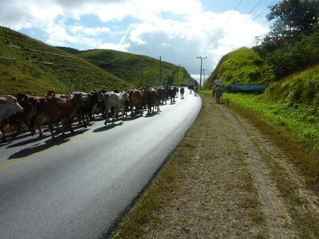 Cows on the road in Cuba